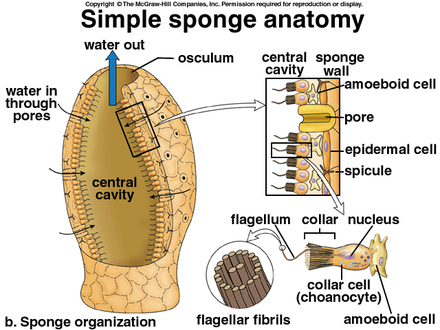 Glass sponge diagram residential electrical symbols glass sponges phylum facts rh phylumfacts weebly com grasshopper diagram microscopic sponge pore diagram ccuart Images